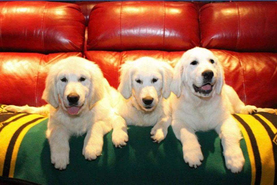 English Cream Golden Retrievers