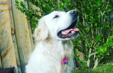 English-Cream Golden Retriever- Pella