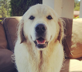 White Golden Retriever Caesar