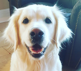 English Cream Golden Retriever Duchess
