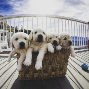 hill haven kennel puppies in a basket